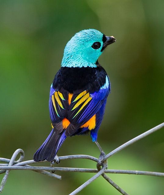 chim bảy màu Chile