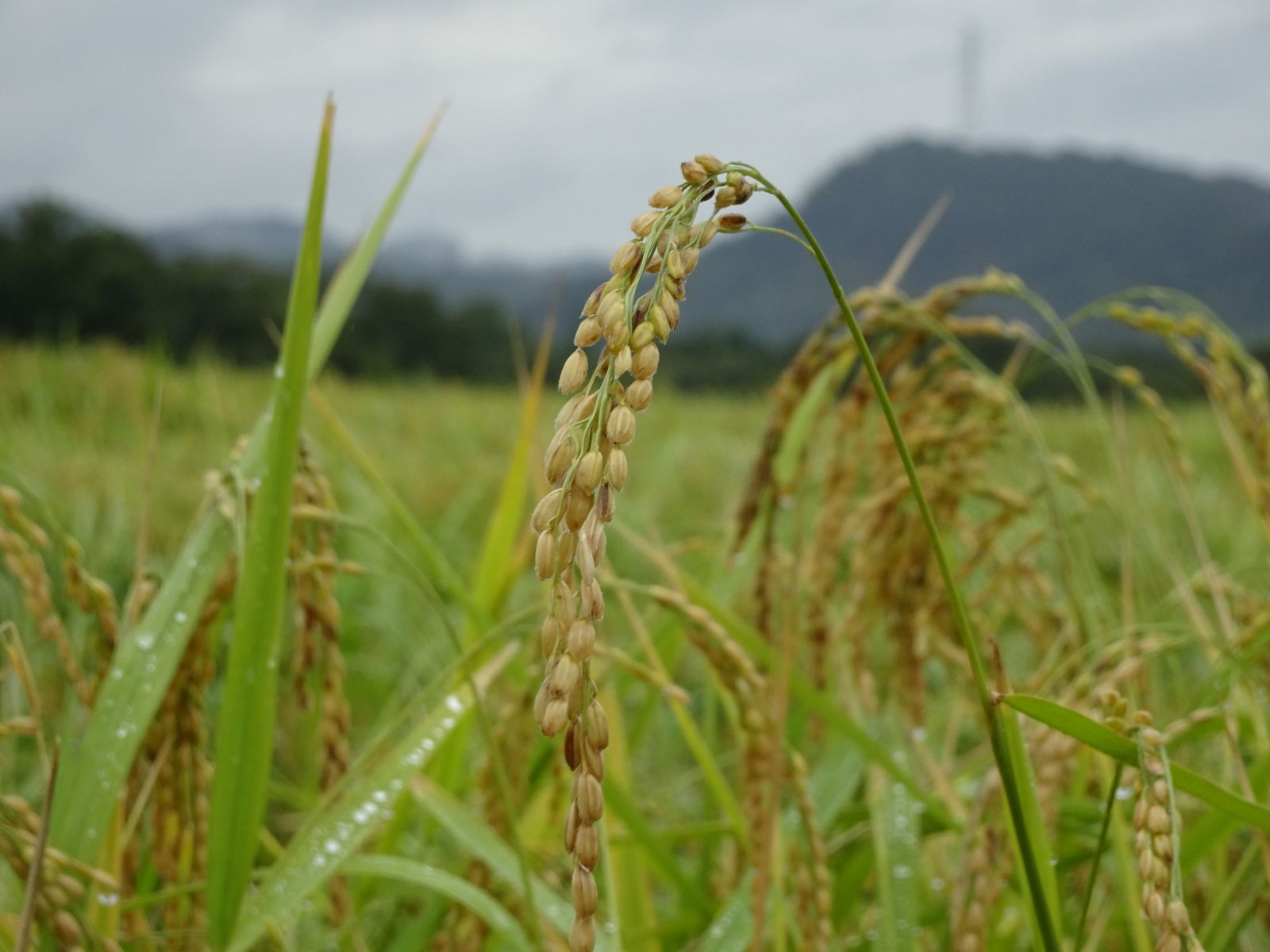 Gạo Yamada Nishiki từ tỉnh Hyogo