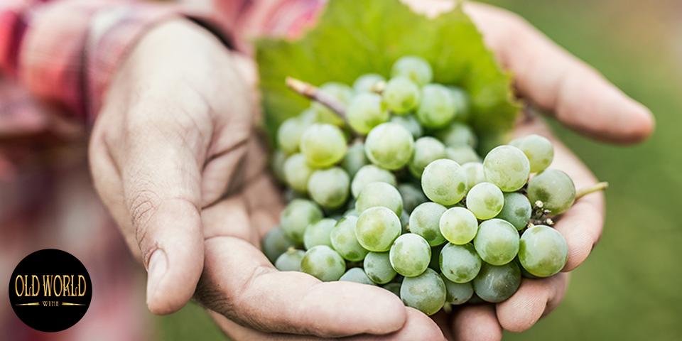 Rượu vang trắng Tây Ban Nha Godello 2016