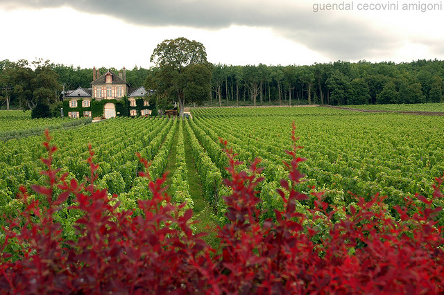 Vườn nho pinot noir ở Pháp