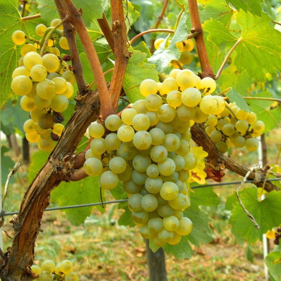 Chardonay loại nho quan trọng nhất để làm ra rượu vang trắng
