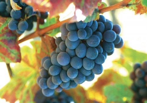 Gamay là gì? Tìm hiểu rượu vang Gamay