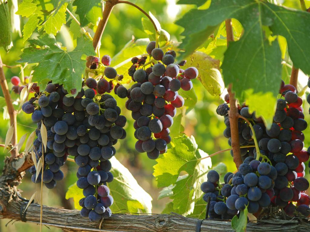 Nho Montepulciano là gì? Tìm hiểu về rượu vang Montepulciano