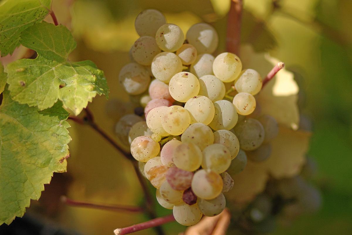 Tìm hiểu giống nho Riesling - Những bí mật của rượu vang Riesling tuyệt vời