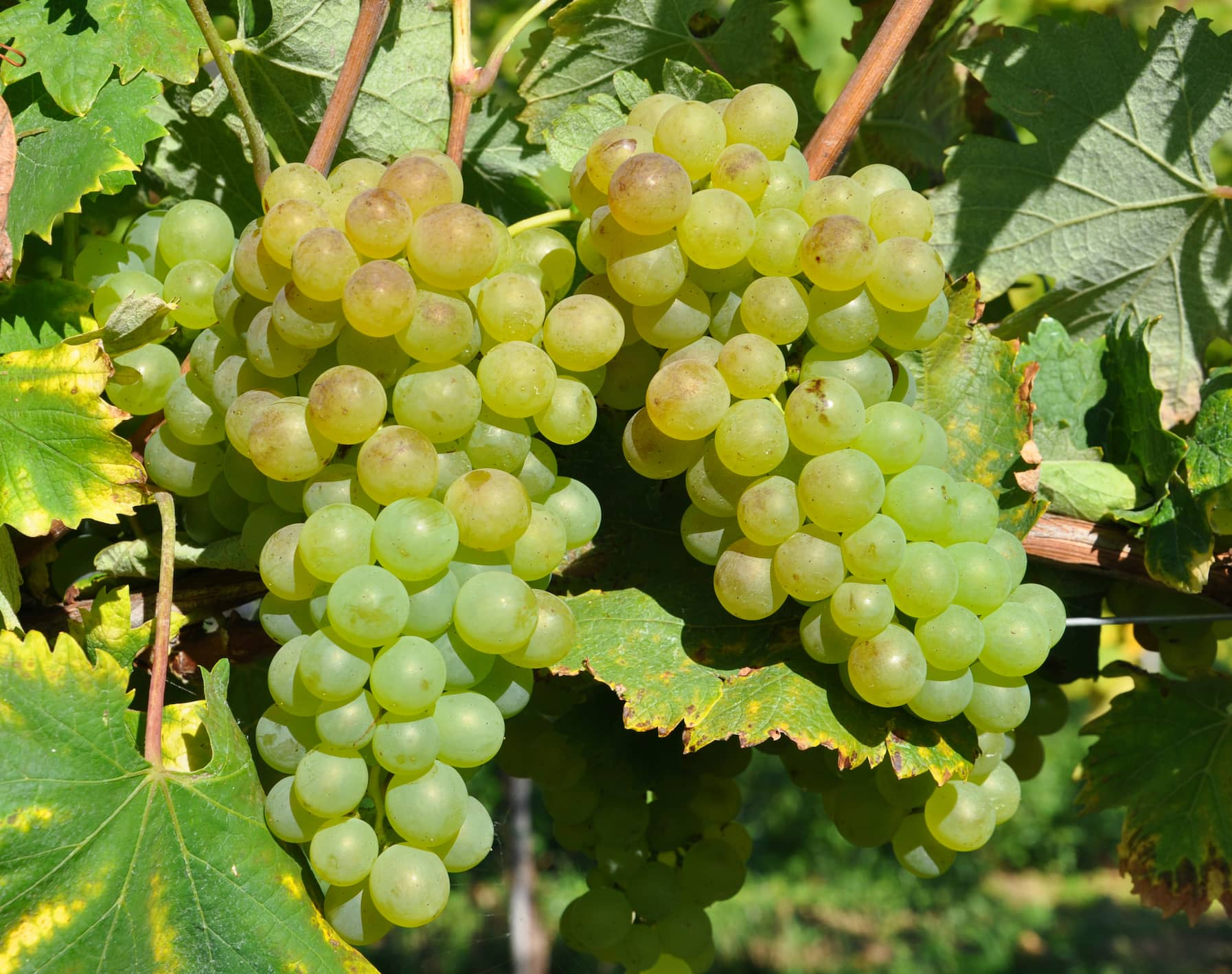 Vermentino là gì? Tìm hiểu rượu vang Vermentino