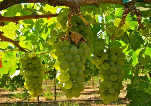 Viognier là gì? Tìm hiểu thông tin về rượu vang Viognier