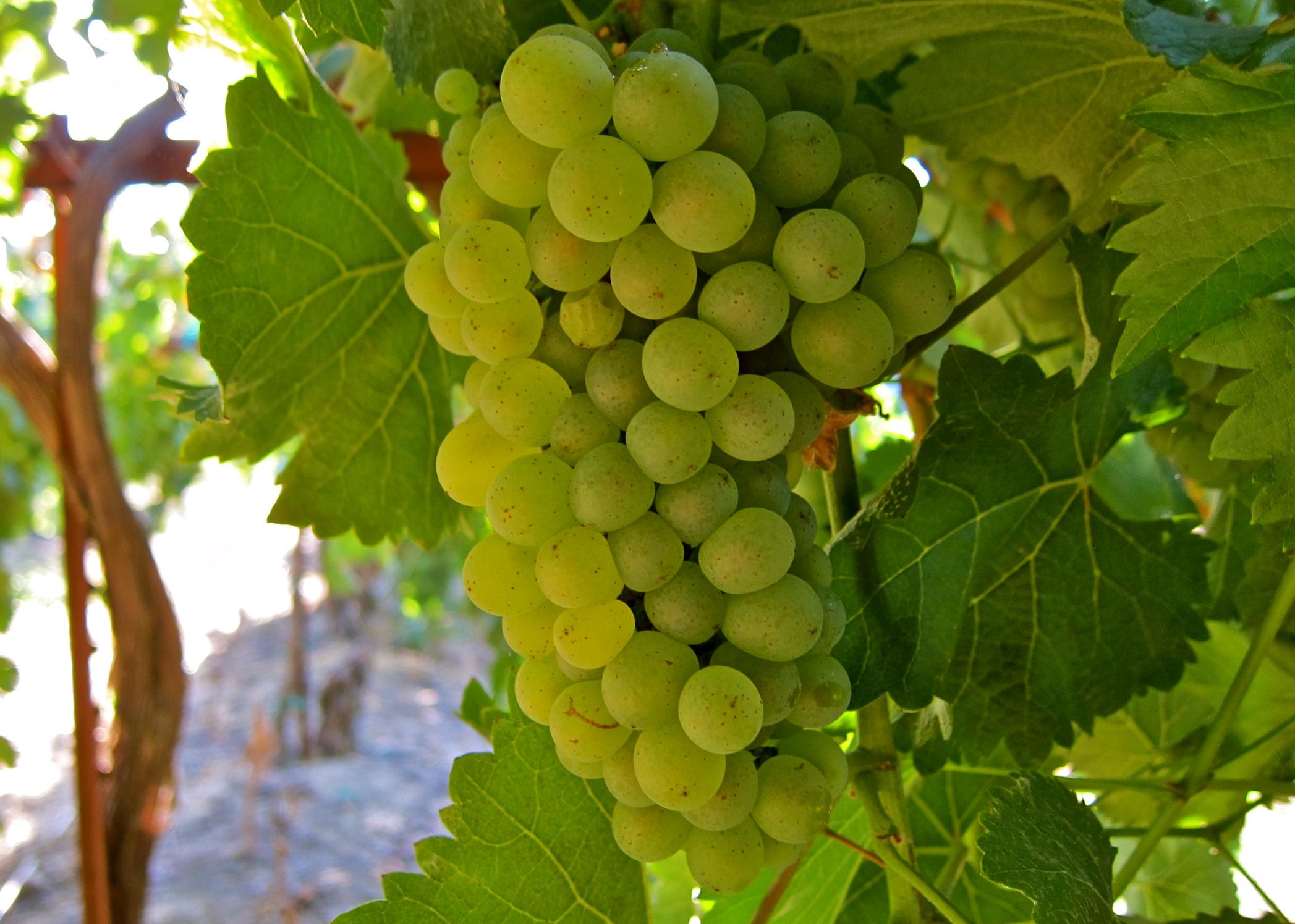 Chenin blanc là gì? Hướng dẫn không thể thiếu về rượu vang Chenin Blanc