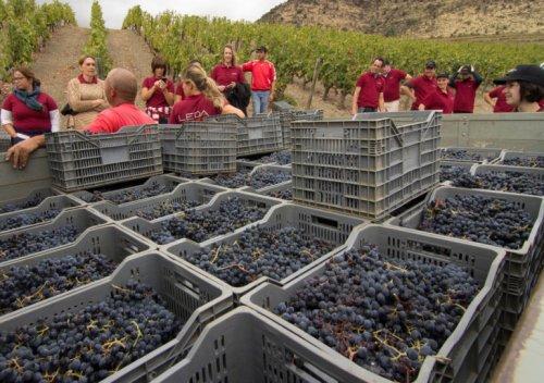 Chi tiết quy trình sản xuất rượu vang