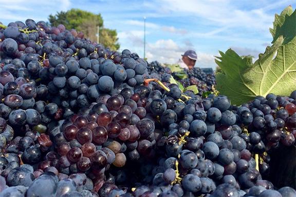 Tìm hiểu giống nho Negroamaro và rượu vang Negroamaro