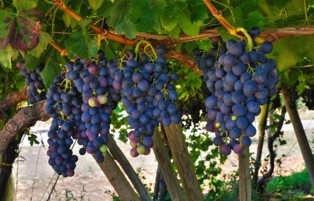 Primitivo rượu vang đỏ mạnh mẽ của Puglia