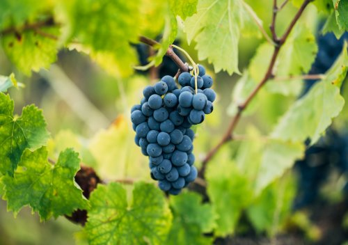 Sagrantino là gì? Hướng dẫn đơn giản về rượu vang Sagrantino