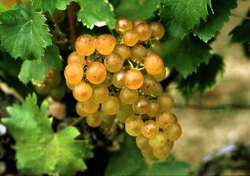 Sémillon là gì? Hướng dẫn về rượu vang Semillon: rượu vang trắng quan trọng thứ 3 của Pháp