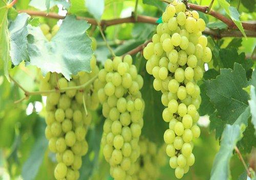 Verdicchio là gì? Tìm hiểu rượu vang Verdicchio